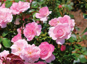 比叡山の冷涼な気候から、6月下旬から11月上旬頃までバラが鑑賞できます