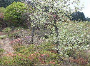梨も白い花を咲かせる