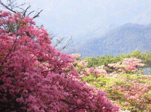 ミツバツツジの花も多い