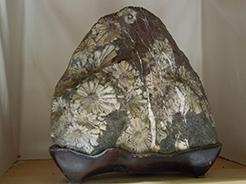 菊の花を思わせる自然の化石