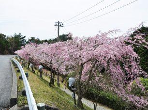 ドライブウェイ沿いの枝垂れ桜(夢見が丘付近)
