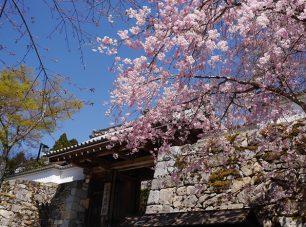山門を彩る桜