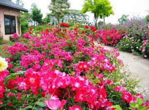 希少種のオールドローズから最新のモダンローズまで、滋賀県下最大級の約300種3000株のバラ。